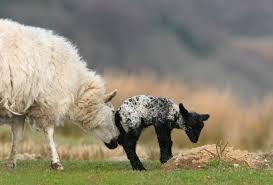 goat nudging